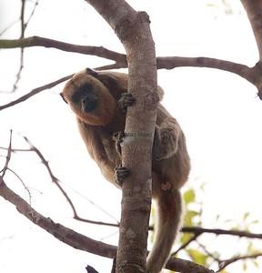 Black-howler Monkey