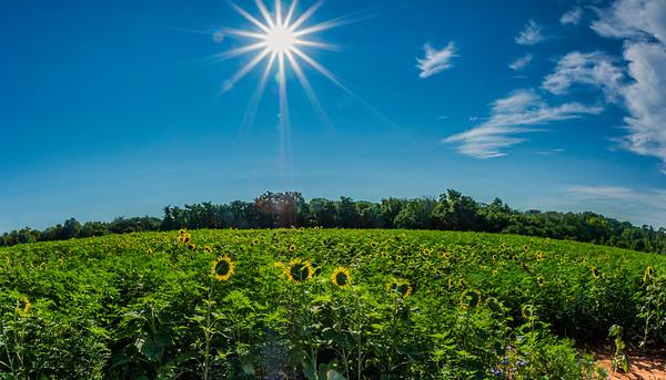 Sunflowers 2019