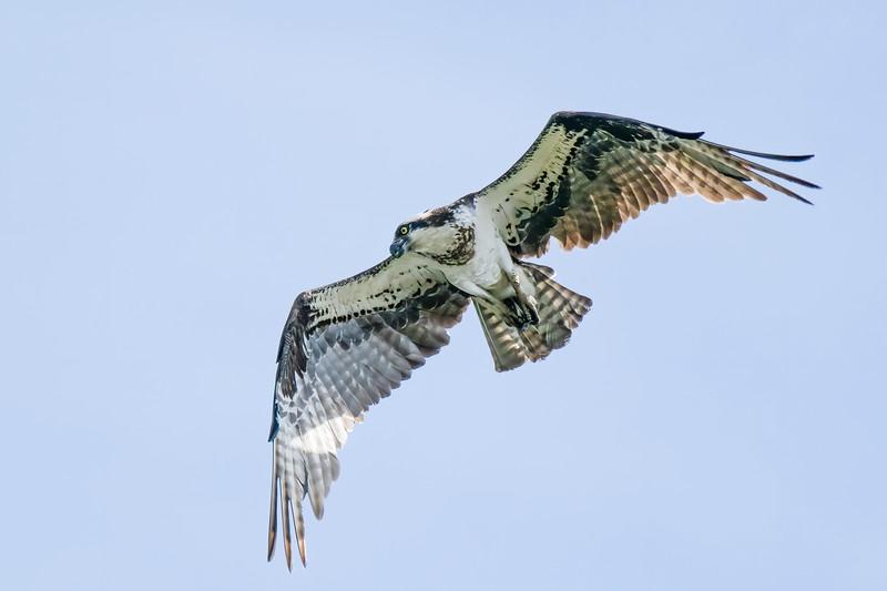 Ospray Bird .jpg