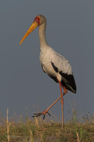 Yellow-billed Stork, Chobe River, NAM, Oct 2016-2.jpg