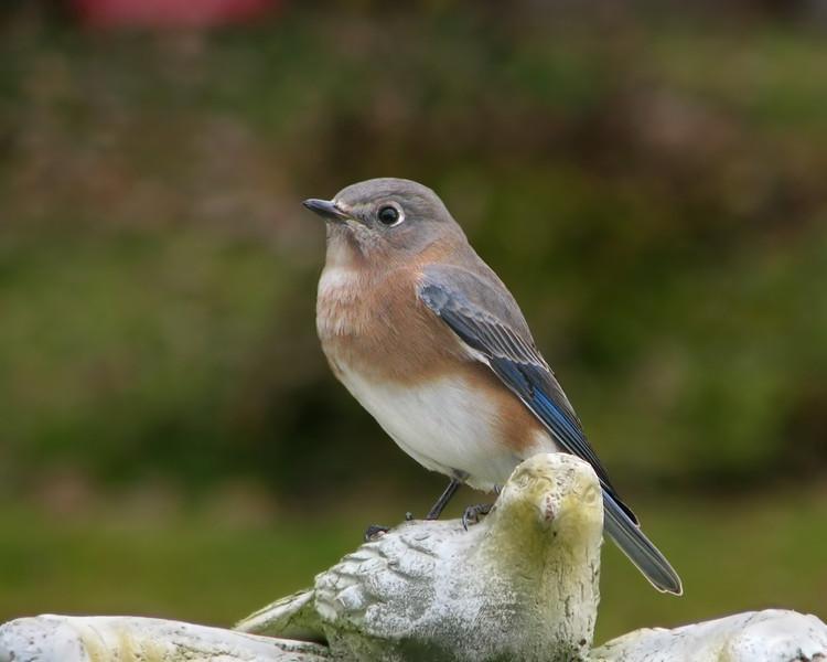 bluebird_8710.jpg