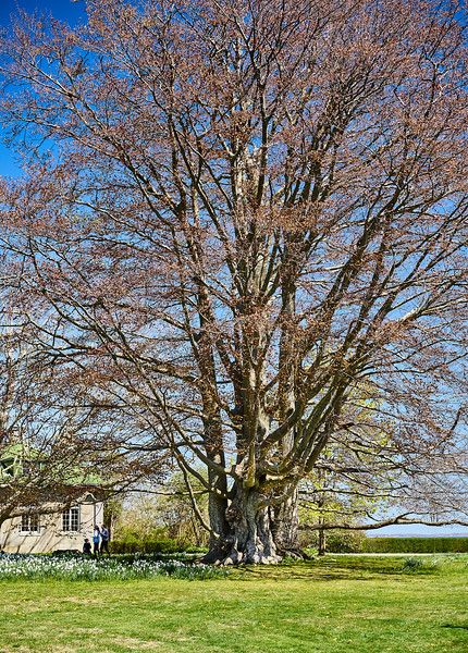 Massive Copper Beech -- From Distance
