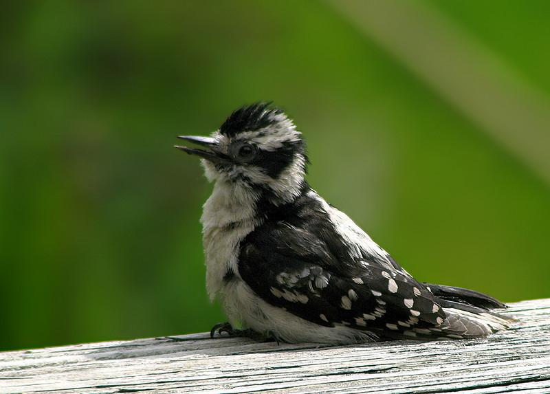 downey_woodpecker_fledgling_0830.jpg