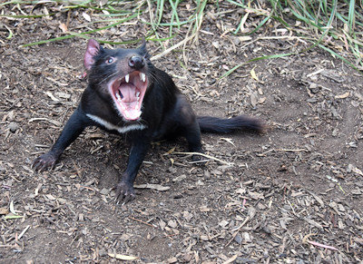 Tasmanian Devils - from Sanctuaries