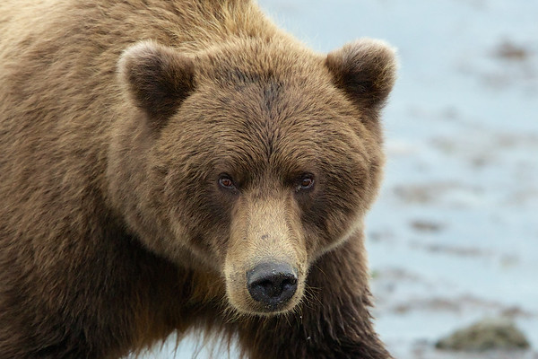 Coastal Brown Bears, Grizzly and Black Bears