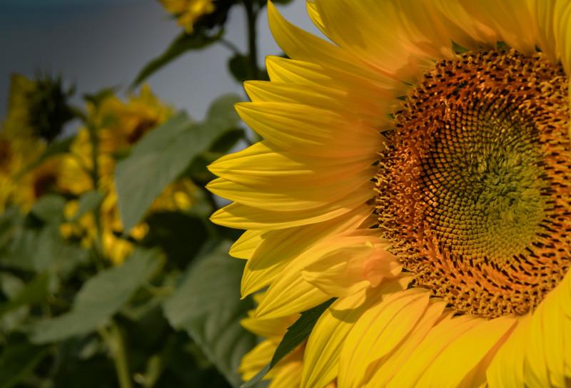 The Sunflower Insider
