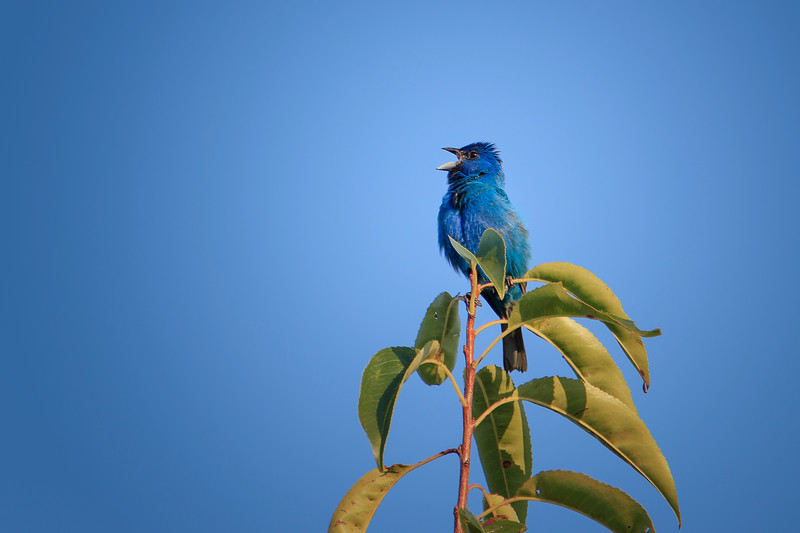 8.10.18 - Blackburn Creek Fish Nursery: Indigo Bunting