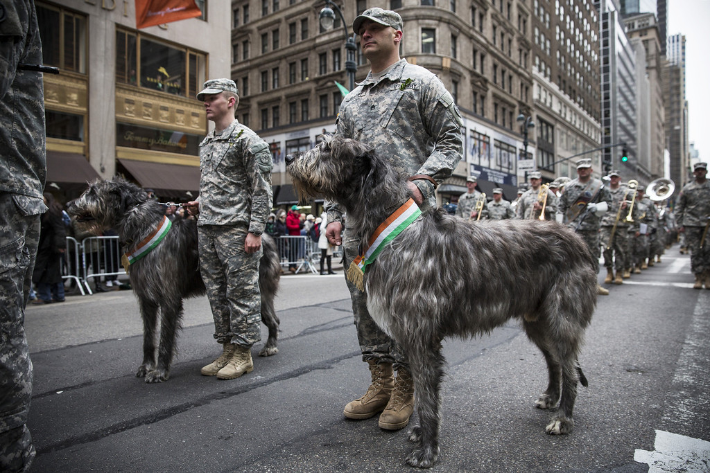 . Members of the military and a pair of Irish Wolfhounds march in the annual St. Patrick\'s Day Parade along Fifth Ave in Manhattan on March 17, 2014 in New York City.  (Photo by Andrew Burton/Getty Images)