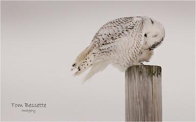 Snowy Owl February 2021