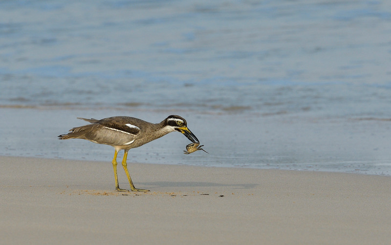 Beach-Thick-knee-with-crab-little-andaman-10.jpg
