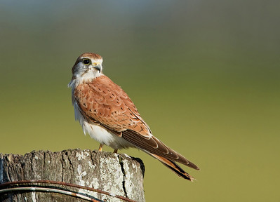 Nankeen Kestrel (Falco cenchroides)