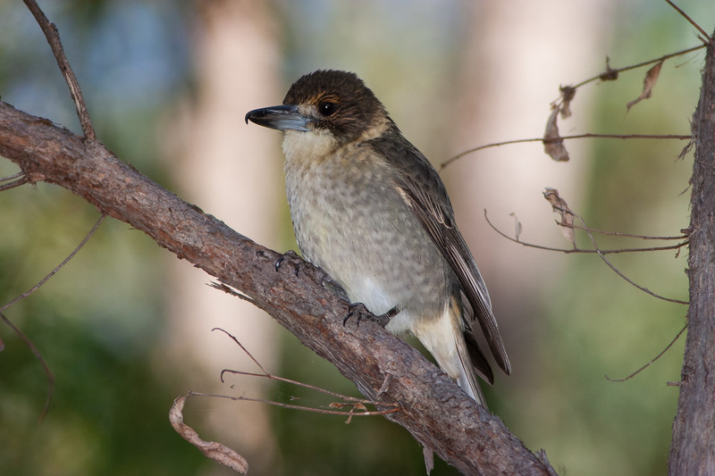 Grey-Butcherbird_MG_8316.jpg