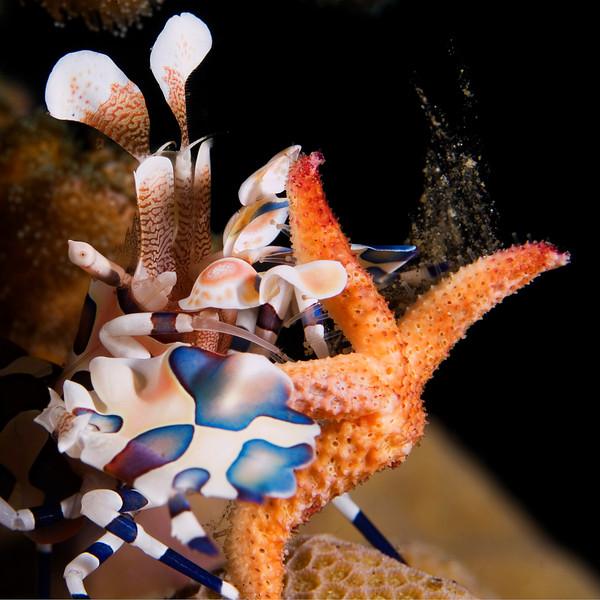 shrimp harlequin (1).jpg