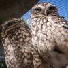 Burrowing Owls, Cusco Zoo, Peru