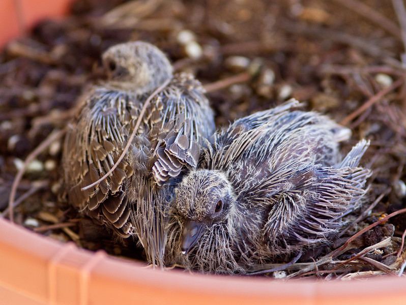 Two dove chicks, a few days old.
