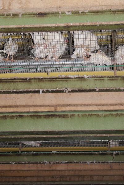 Kingersheim-poules-11.jpeg