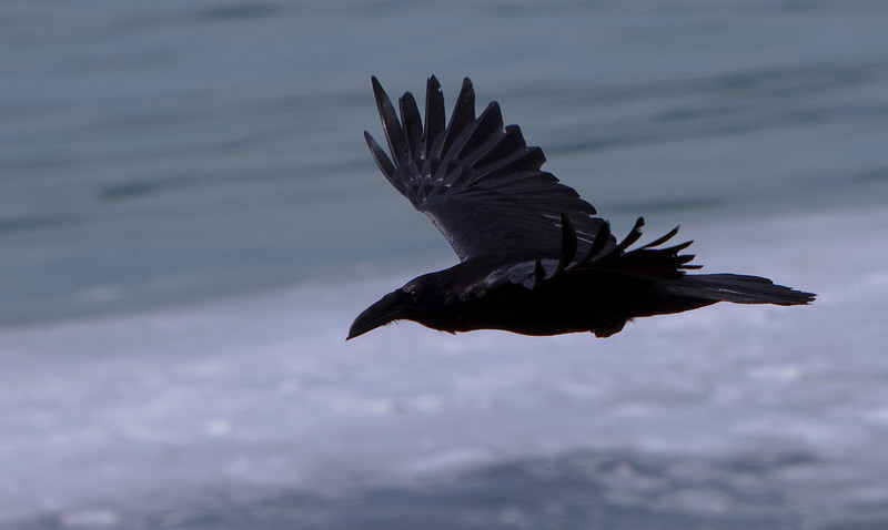 Raven in Flight.jpg