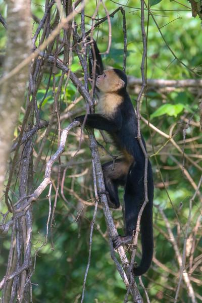 Capuchin Monkey Climbing a Tree