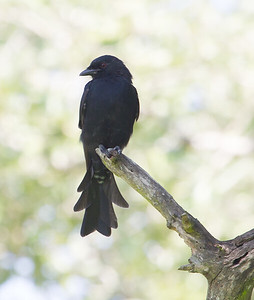 Forl-tailed Drongo