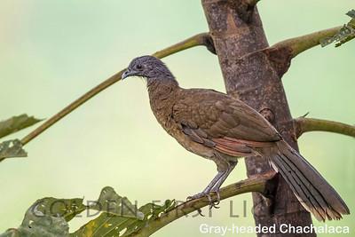 Gray-headed Chachalaca, Costa Rica