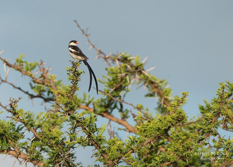 Pin-tailed Whydah, Ithala NP, KZN, SA Jan-2014-1.jpg