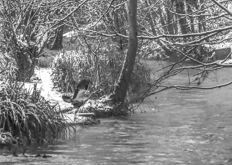 Heron taking off over River Frome