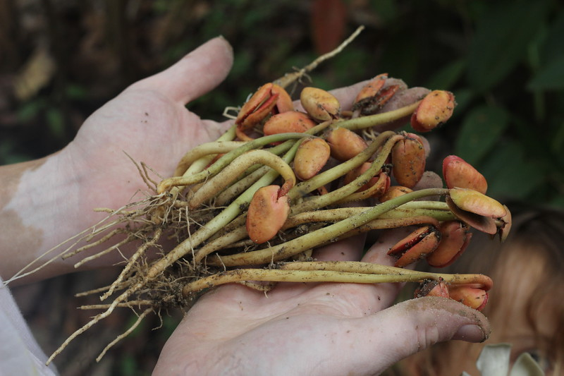 Planting the Santol sprouts around the World