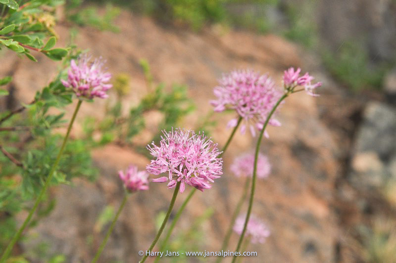 Allium fetissowii