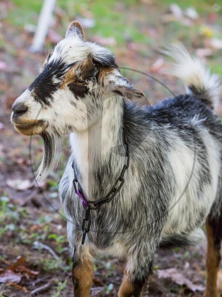 Goats-197.jpg