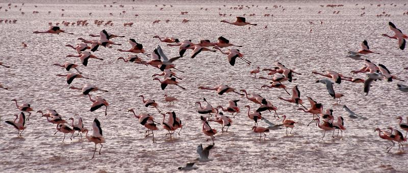 BOL_2703-Flamingos in Flight.jpg