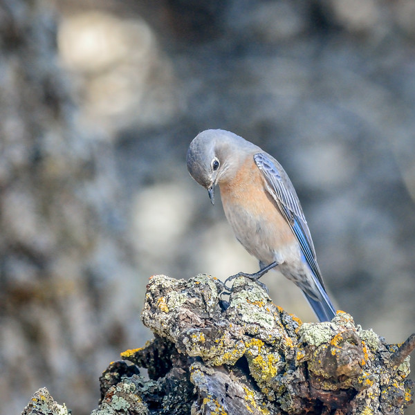 -_Western Bluebird 2014-10-04 Harvey Bear Ranch-5.jpg