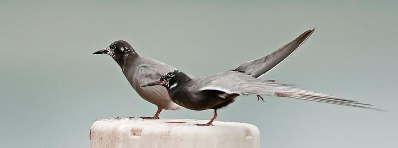 Gull | Terns