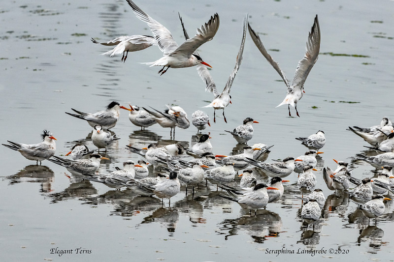_DSC2636Elegant Terns Flock water.jpg