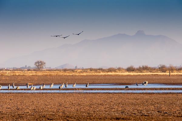Sandhill Cranes Arizona