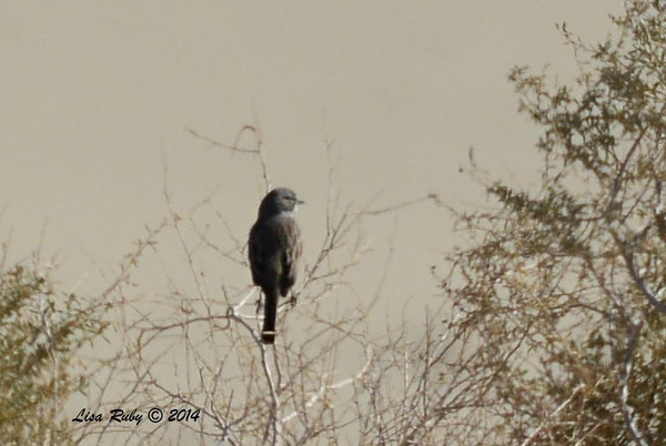 Bell's or Sagebrush Sparrow (anyone care to take a gander at which?) - 2/2/2014 - Borrego Springs