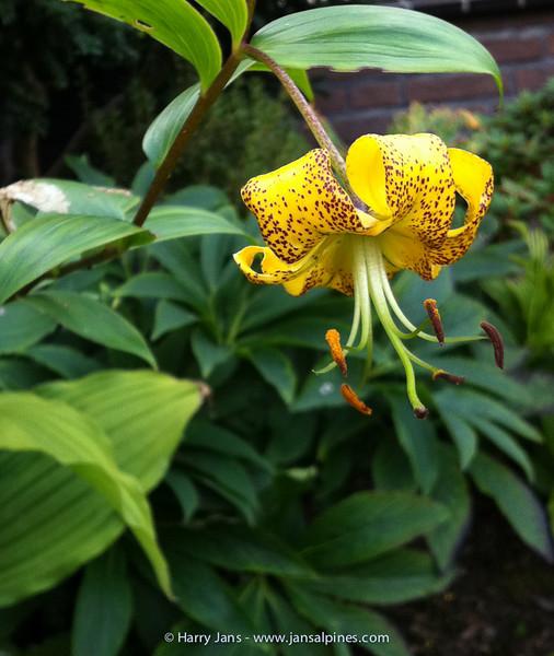 Lilium lijiangense