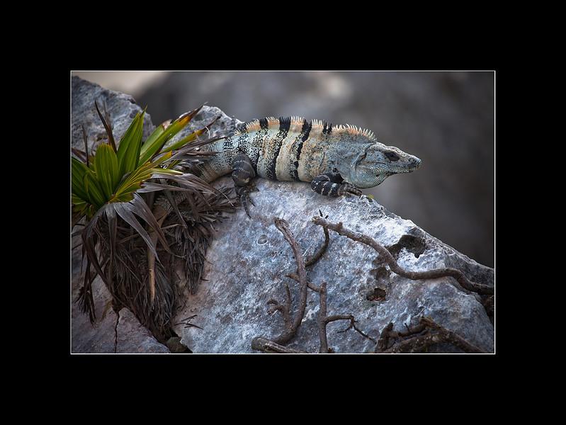 iguanas 4 small.jpg
