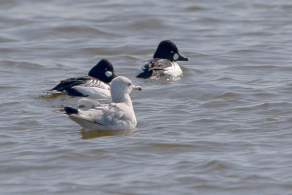 2021-02-03 Riverlands Migratory Bird Sanctuary
