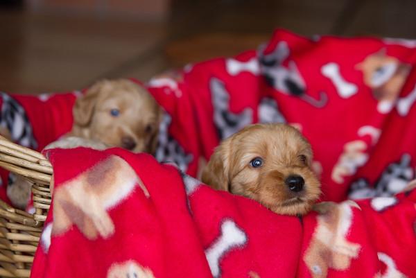 Stella Puppies - 4 weeks