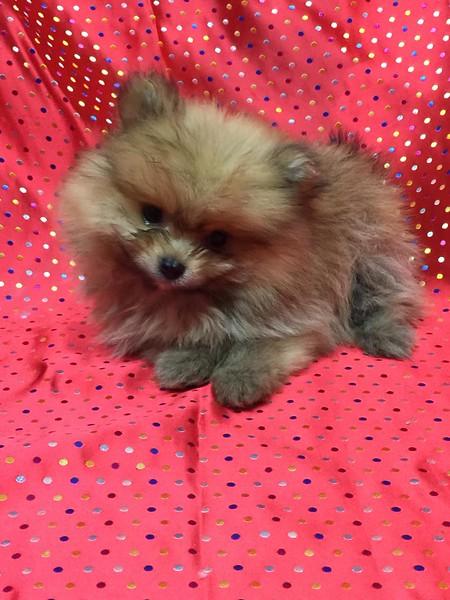 Female Pomeranian Puppy 2961