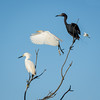 (L to R) Snowy egret, cattle egret, little blue heron, snowy egret