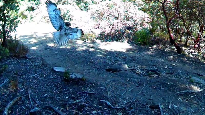 Juvenile red-tail hawk encounters an already-dead quail