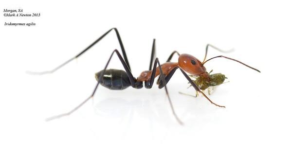 Iridomyrmex agilis
