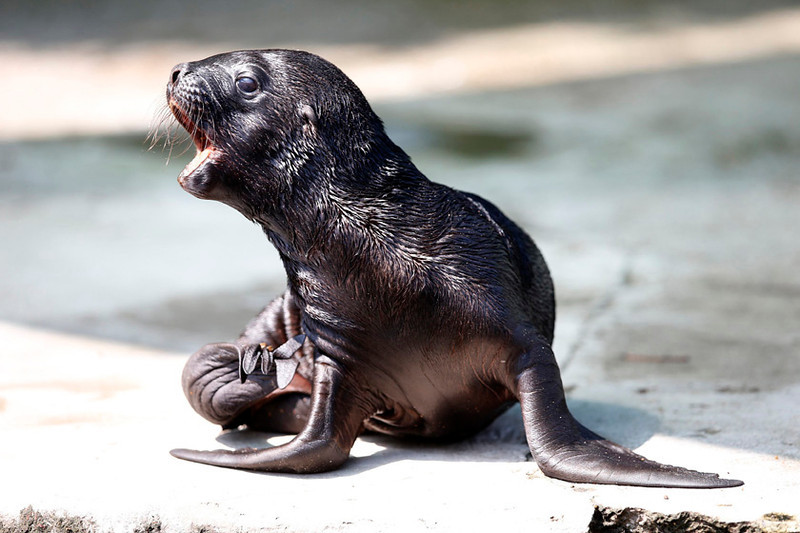. Five-day-old South American sea lion Alida  at Tiergarten Schoenbrunn Zoo in Vienna, July 11, 2013.  REUTERS/Leonhard Foeger