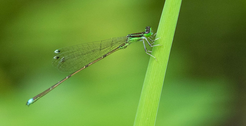 Furtive Forktail