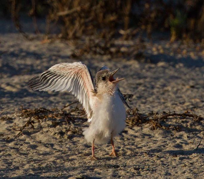 Least Tern  Batiquitos Lagoon 2011 06 30-15.CR2