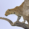 African Leopard (Panthera pardus pardus) looking out from top of a tree in Masai Mara in Kenya, Africa