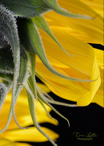 _DSC1757 Sunflower 5x7.jpg