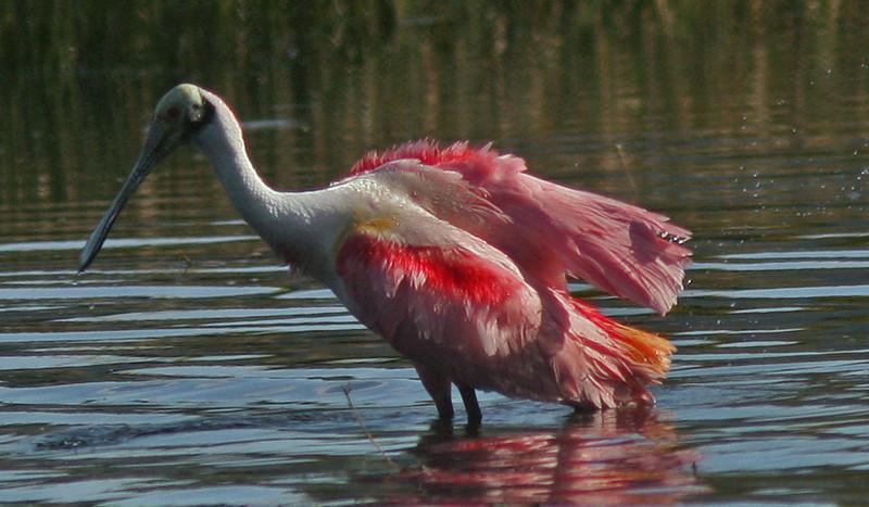 WB~Florida Roseate Spoonbill pond1280.jpg