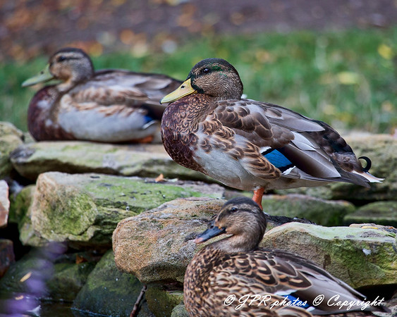 Birds, Ducks, Geese